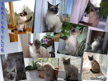 """фотоконкурс """"Тайские кошки на окошке"""""""